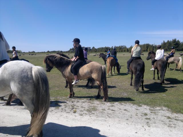 Turridning Fårö Islandshäst Aktivitet Gotland